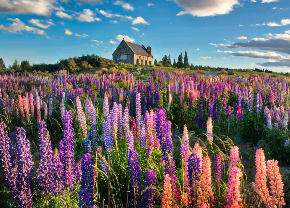 Lupins and a house in New Zealand, photo from free image library PhotoPin