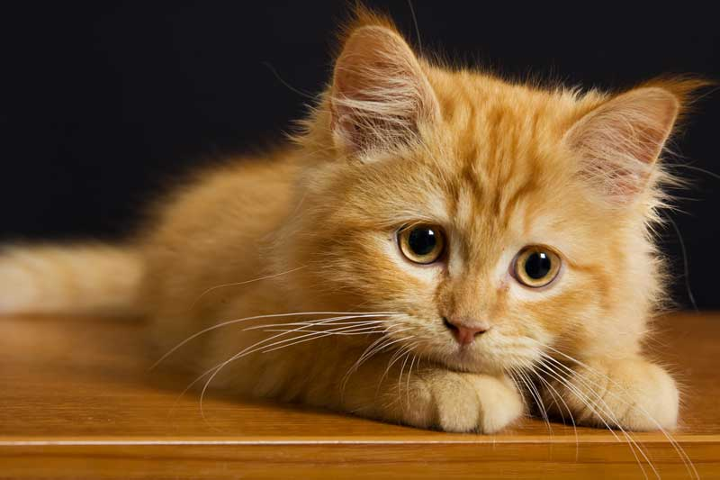 One of the 10 cutest ginger kittens on the web. Pure click-bait.