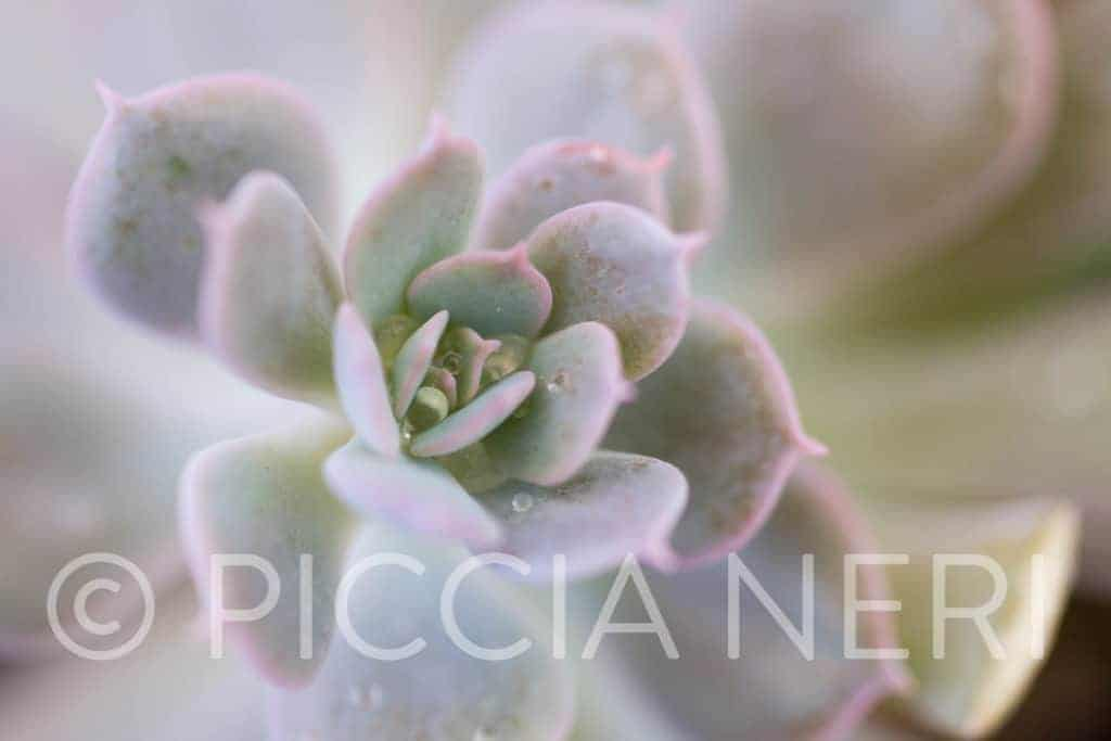 Free hi-res photo. Drops of water in the heart of a succulent plant.