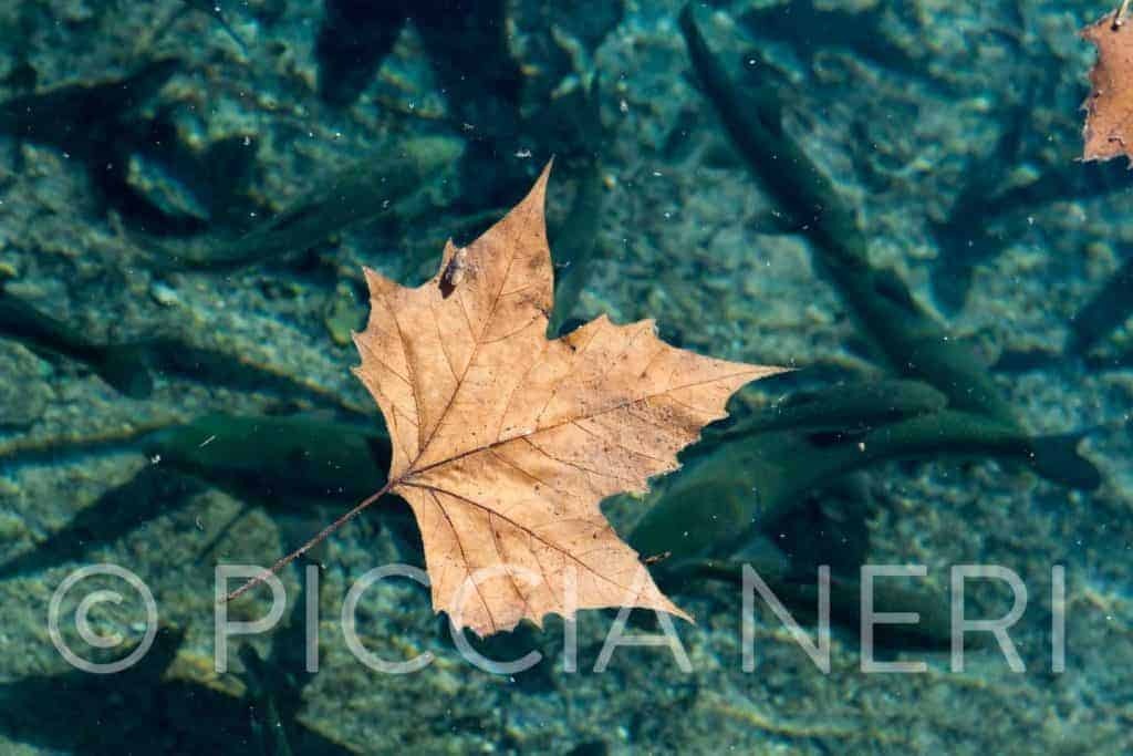 Download hi-res photo of autumn leaf floating on a transparent river full of fishes.