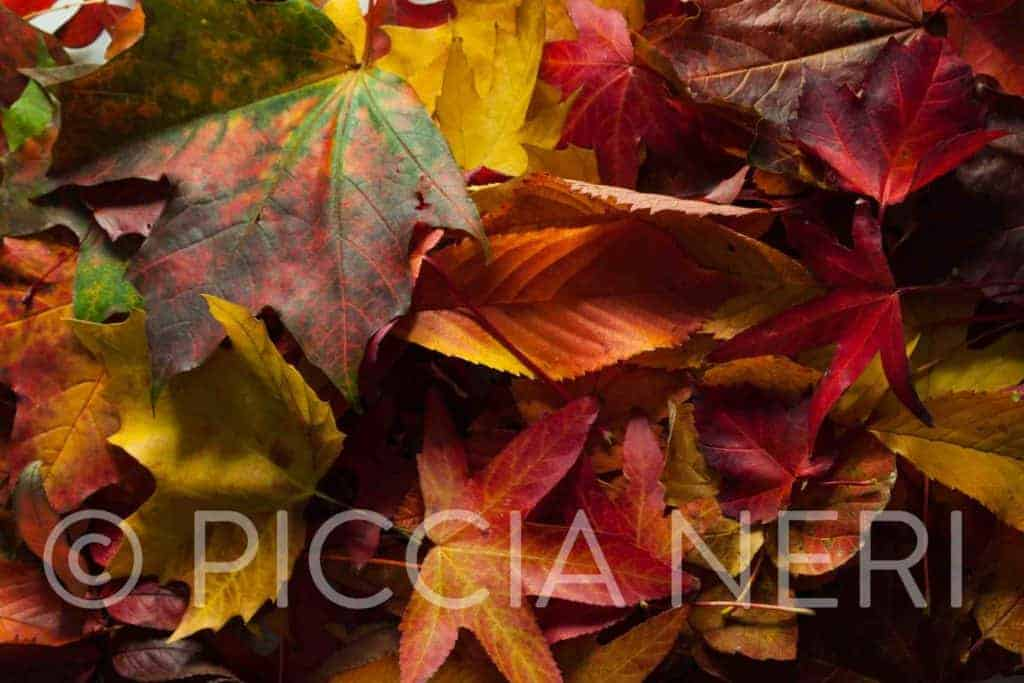 Free photo download of colourful autumn leaves
